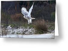 Snowy Owl In Florida 10 Greeting Card