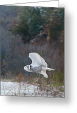 Snowy Owl In Florida 11 Greeting Card