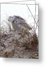 Snowy Owl In Florida 13 Greeting Card