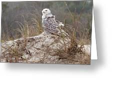 Snowy Owl In Florida 14 Greeting Card