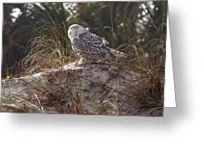 Snowy Owl In Florida 15 Greeting Card
