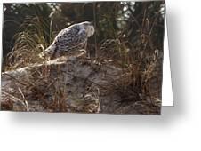 Snowy Owl In Florida 16 Greeting Card