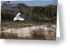 Snowy Owl In Florida 18 Greeting Card