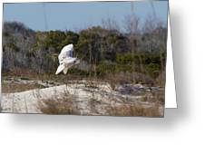 Snowy Owl In Florida 19 Greeting Card