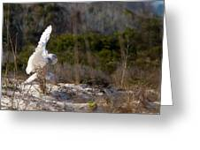 Snowy Owl In Florida 20 Greeting Card