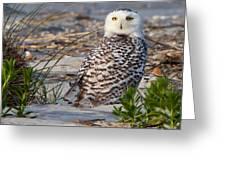 Snowy Owl In Florida 24 Greeting Card