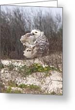 Snowy Owl In Florida 4 Greeting Card