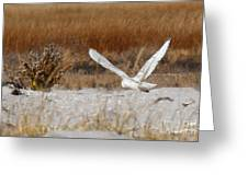 Snowy Owl On The Hunt Greeting Card