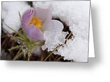 Snowy Pasqueflower Greeting Card