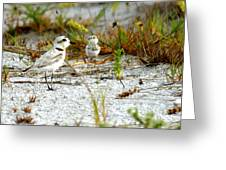 Snowy Plover And Chick Greeting Card