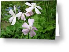 Soapwort Flowers Greeting Card