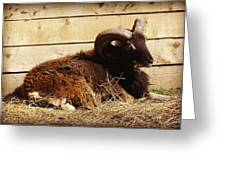 Soay Ram Reclining Greeting Card