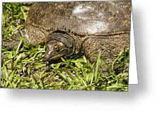 Florida Soft Shelled Turtle - Apalone Ferox Greeting Card