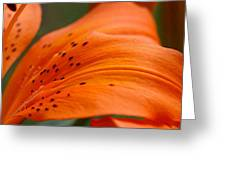 Soft Lily Greeting Card