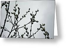 Soft Pussy Willows - Hard Gray Sky Greeting Card