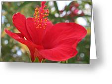Soft Red Hibiscus With A Natural Garden Background Greeting Card