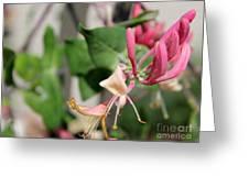Soft Sweet Honesuckle  Greeting Card
