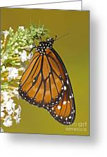 Soldier Butterfly Danaus Eresimus Greeting Card