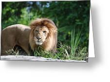 Solemn Lion Greeting Card