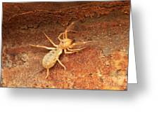 Solfugid Greeting Card