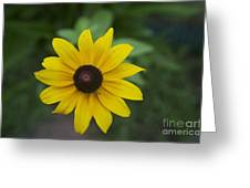 Solo Black-eye Susan Greeting Card