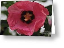 Solo Rose Of Sharon Greeting Card