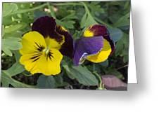 Solvang Pansies Greeting Card