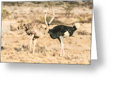 Somali Ostriches Kissing Greeting Card