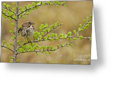 Song Sparrow Pictures 111 Greeting Card
