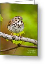 Song Sparrow Pictures 132 Greeting Card