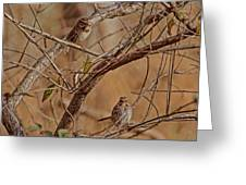 Song Sparrows Greeting Card