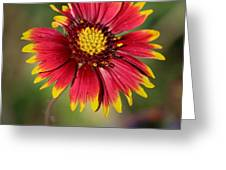 Sonoran Blanket Flower Greeting Card