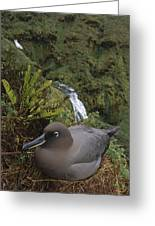 Sooty Albatross Nesting On Cliff Edge Greeting Card