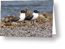 Mr. And Mrs. Laughing Gull  Greeting Card