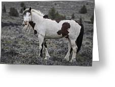 South Steens Wild Stallion Greeting Card