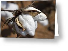 Southern Cotton Greeting Card
