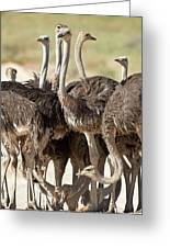 Southern Ostriches Performing Geophagia Greeting Card