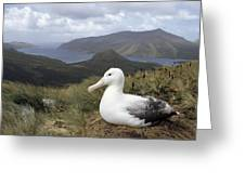 Southern Royal Albatross On Nest Greeting Card