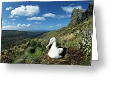 Southern Royal Albatross Greeting Card