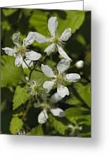 Southern Sawtooth Highbush Blackberry Blossoms - Rubus Argutus Greeting Card