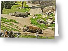 Southern White Rhinoceros In San Diego Zoo Safari Park In Escondido-california Greeting Card