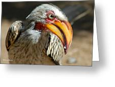 Southern Yellow-billed Hornbill - Tockus Leucomelos  Greeting Card