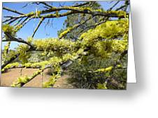 Spanish Moss In Juniper Greeting Card