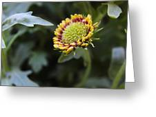 Spark Gaillardia Flower Bud Greeting Card