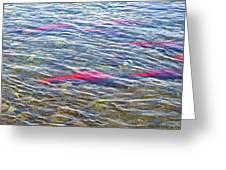 Spawning Salmon In Moraine River In Katmai National Preserve-ak Greeting Card