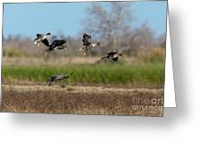 Speckled Belly Geese Landing Greeting Card