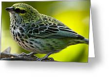 Speckled Tanager - Tangara Guttata Greeting Card