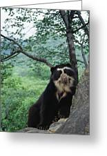 Spectacled Bear Cerro Chaparri  Peru Greeting Card