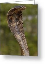 Spectacled Cobra Gujarat India Greeting Card