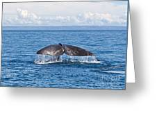 Sperm Whale Tail  Physeter Catodon Greeting Card